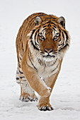 Captive Siberian Tiger (Panthera tigris altaica) in the snow, near Bozeman, Montana, United States of America, North America