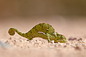 Flap-necked chameleon (Chamaeleo dilepis), Kruger National Park, South Africa, Africa