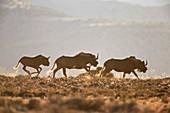 Three black wildebeest (white-tailed gnu) (Connochaetes gnou) running, Mountain Zebra National Park, South Africa, Africa