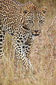 Leopard (Panthera pardus) walking through dry grass, Kruger National Park, South Africa, Africa