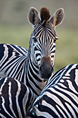 Common zebra (Plains zebra) (Burchell's zebra) (Equus burchelli), Addo Elephant National Park, South Africa, Africa