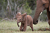 African Elephant (Loxodonta africana) baby and mother, Addo Elephant National Park, South Africa, Africa