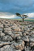 Lone tree on Twistleton Scar, Ingleton, Yorkshire Dales, Yorkshire, England, United Kingdom, Europe