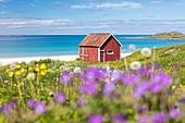 Bunte Blumen auf grünen Wiesen und typisches Rorbu, umgeben von türkisfarbenem Meer, Ramberg, Lofoten, Norwegen, Skandinavien, Europa