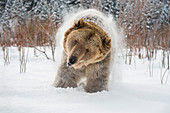 Brown bear (grizzly) (Ursus arctos), Montana, United States of America, North America