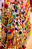 Kamel auf der Pushkar-Kamelmesse, Pushkar, Rajasthan, Indien, Asien