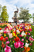 Tulips and Windmills in Keukenhof garden, Lisse, South Holland, The Netherlands, Europe