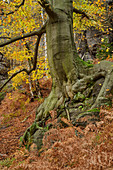 Trunk of a beech tree in the autumn forest, Elbe Sandstone Mountains, Saxon Switzerland National Park, Saxon Switzerland, Saxony, Germany