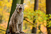 Lynx yawns, Bad Schandau, Elbe Sandstone Mountains, Saxon Switzerland National Park, Saxon Switzerland, Saxony, Germany