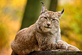 Lynx looks at viewer, Bad Schandau, Elbe Sandstone Mountains, Saxon Switzerland National Park, Saxon Switzerland, Saxony, Germany
