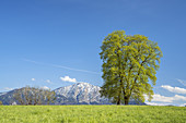 Lime tree in front of the Jochberg in spring, Großweil, Upper Bavaria, Bavaria, Southern Germany, Germany, Europe