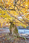 Beech in the Hutewald Halloh in Albertshausen, Bad Wildungen, Hesse, Central Germany, Germany, Europe