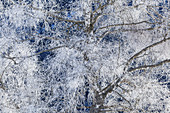 Birch with hoarfrost, Krün, Upper Bavaria, Bavaria, Germany, Europe