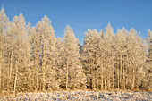 Birch forest near Breunetsried, Penzberg, Pfaffenwinkel, Upper Bavaria, Bavaria, southern Germany, Germany, Europe