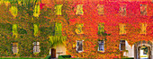 Wild vine in autumn colors on the facade of the inner courtyard of Neustift Monastery, Brixen, Eisack Valley, South Tyrol, Italy