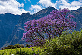 Flowering jacaranda trees at the Clouds Estate winery, Stellenbosch, Cape Winelands, South Africa, Africa