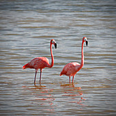Two flamingos in the water on Cayo Guillermo, Cuba
