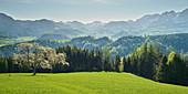 blühender Kirschbaum, Windischgarsten, Oberösterreich, Österreich