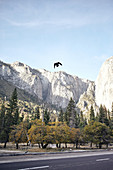 Crow flies over a road in Yosemite National Park.