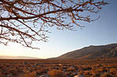 Sunset with branches against the steppe landscape in front of the White Mountains, Eastern Sierra, California, USA.