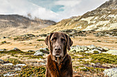 Brown Labrador sits in the barren mountain landscape on the Julier Pass, Graubünden, Switzerland Europe.