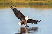 Afrikanischer Fischadler (Haliaeetus vocifer), Chobe River, Chobe National Park, Botswana, Afrika