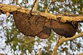 Aasiatische Honigbiene (Apis cerana), Schwarm auf Zweig im Baum, Tadoba-Nationalpark, Maharashtra, Indien
