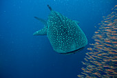 Whale shark (Rhincodon typus) with a shoal of red fish evading predation, Honda Bay, Palawan, The Philippines, Southeast Asia, Asia