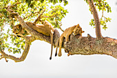 Hanging Lions in the Ishasha sector, Queen Elizabeth National Park, Uganda, East Africa, Africa