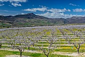 France, Drome, apricot trees in bloom in Bellecombe Tarendol, Baronnies, Drome provencale