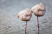 France, Bouches du Rhone, Camargue Regional Nature Park, Saintes Maries de la Mer, Ornithological Park of Pont de Gau, couple of Flamingos (Phoenicopterus ruber), in the rest they are often held on a leg and the head sticked in feathers, the female being smaller on average than the male