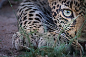 Half a leopard's face, Panthera pardus, as it crouches low to the ground, yellow green eye, direct gaze.