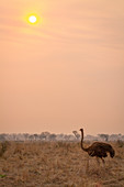 An ostrich, Struthio camelus, stands in brown grass at sunset
