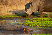 A white rhino and its calf, Ceratotherium simum, stand at the edge of a waterhole with a hippo, Hippopotamus amphibius
