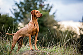 Portrait of Vizla dog standing on a meadow.