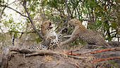 A male and female leopard, Panthera pardus, fight with each other, using their paws with bared teeth.