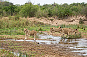 Four lionesses, Panthera leo, jump over a stream.
