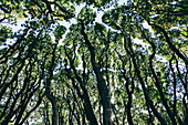 Low angle view of grove of coast live oaks, bishop pines and madrone trees