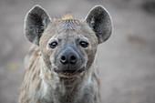 The head of a spotted hyena, Crocuta crocuta, direct gaze, ears forward