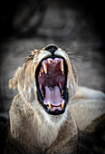 A lioness, Panthera leo, yawns, eyes closed, ears back