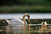 France, Ain, Dombes, Mute swan (Cygnus olor), adult with a young