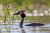 France, Ain, Dombes, Great Crested Grebe (Podiceps cristatus), adult