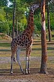 France, Gironde, Bassin d'Arcachon, La Teste, Zoo, giraffe (Giraffa camelopardalis)