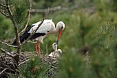 France, Somme, Baie de Somme, Marquenterre park, White Stork (Ciconia ciconia), feeding young in the nest