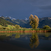 Tree on Sihlsee with reeds and mountains, Einsiedeln Switzerland
