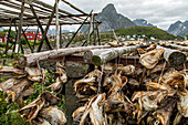 DRIED COD HEADS MEANT TO BE CRUSHED FOR EXPORTATION TO AFRICA AND EATEN IN SOUPS, LOFOTEN ISLANDS, NORWAY