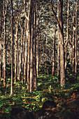Boranup Forest in Margaret River, Western Australia, Australia, Oceania