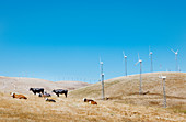 Cows graze on wind turbine field, California, USA