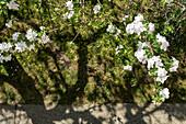 View of blooming apple tree, Munich, Bavaria, Germany, Europe