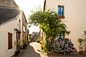 Romantic alley with bunching hydrangeas, Rue de la Saulnerie, La Roche-Bernard, Vilaine, Morbihan department, Brittany, France, Europe